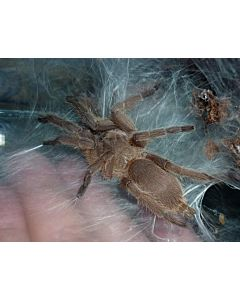 Chilobrachys huahini Rood bruine Thaise vogelspin