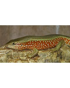 Trachylepis perrotetii Red sided Skink