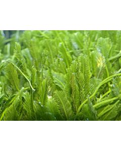 Caulerpa (on Rock)