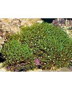 Pachyclavularia Violacea (Green)