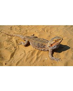 Baardagaam Pogona Vitticeps Medium