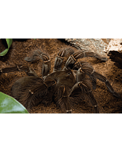 Theraphosa Blondi (Goliath Vogelspin)