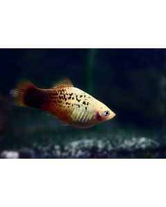 Xiphophorus Maculatus Red White Spotted Platy
